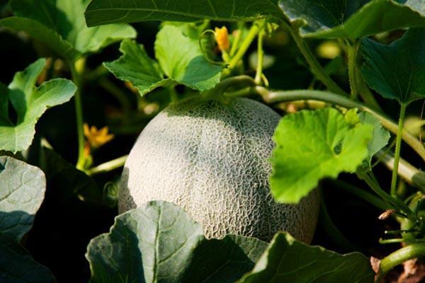 伸びる地域ブランド農産物 拡がる購入チャネル